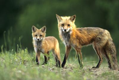 https://imgc.artprintimages.com/img/print/red-fox-adult-with-kit-illinois_u-l-q13bw200.jpg?p=0