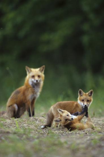 Red Fox Adults with Kit, Illinois-Richard and Susan Day-Photographic Print