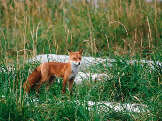 Red Fox, Alaska Peninsula, Alaska, USA-Dee Ann Pederson-Photographic Print