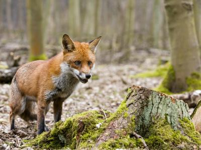 Red Fox, Alert Fox Standing Next to Fallen Tree, Lancashire, UK-Elliot Neep-Photographic Print