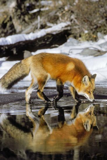 Red Fox Along Edge of Freezing Lake, November--Photographic Print