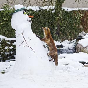 Red Fox Climbing Up Snowman