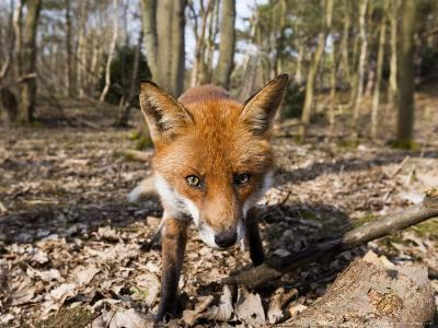 Red Fox, Close up Wide Angle View of Young Male Fox, Lancashire, UK-Elliot Neep-Photographic Print