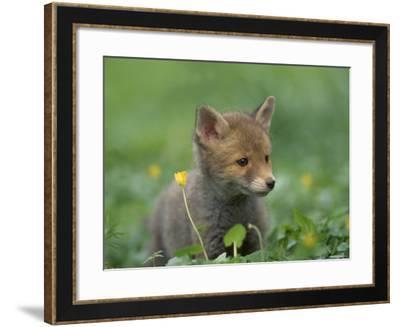 Red Fox Cub at a Rehab Centre, Scotland, UK-Niall Benvie-Framed Photographic Print