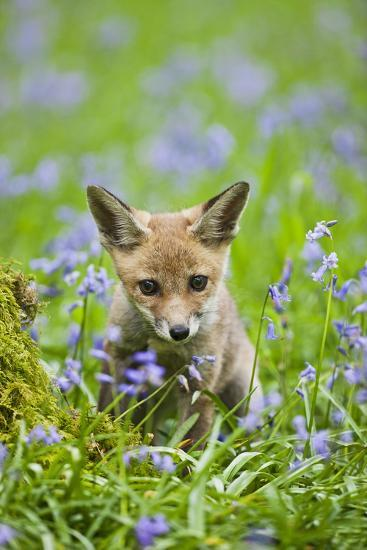 Red Fox Cub in Bluebell Woodland--Photographic Print