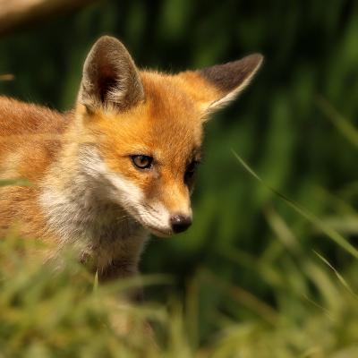 Red Fox Cub in the Grass-Chris Jolley-Photographic Print