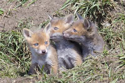 Red Fox Cubs (Vulpes Vulpes), Middlesborough, United Kingdom, Europe-David Gibbon-Photographic Print