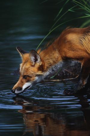https://imgc.artprintimages.com/img/print/red-fox-drinking-water_u-l-pzqcbn0.jpg?p=0