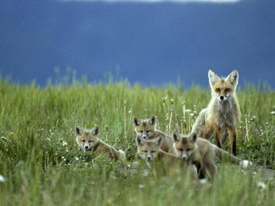 Red Fox Family, Idaho-Michael S^ Quinton-Photographic Print