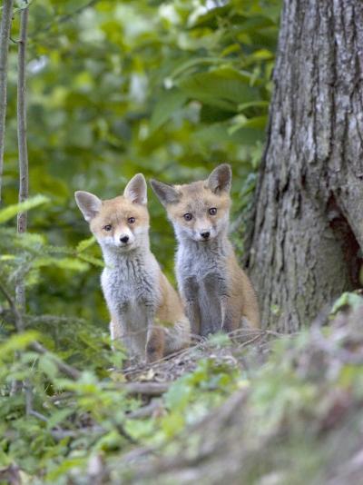 Red Fox, Fox Cubs Outside Den, Vaud, Switzerland-David Courtenay-Photographic Print