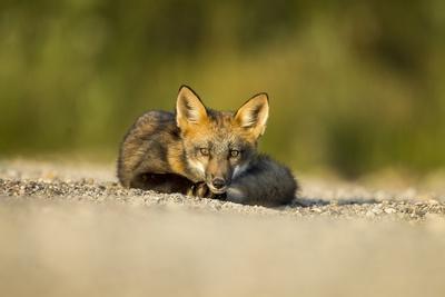 https://imgc.artprintimages.com/img/print/red-fox-gillam-manitoba-canada_u-l-pzqlcf0.jpg?p=0