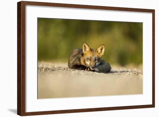 Red Fox, Gillam, Manitoba, Canada-Paul Souders-Framed Photographic Print