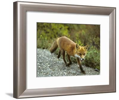 Red Fox in Alaska-Michael S^ Quinton-Framed Photographic Print