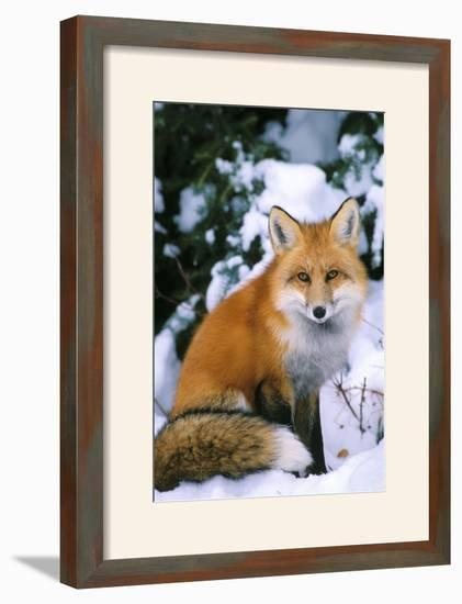 Red Fox in Snow--Framed Photographic Print