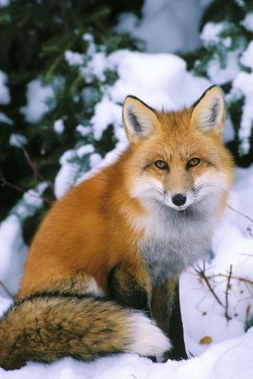 Red Fox in Snow--Photographic Print