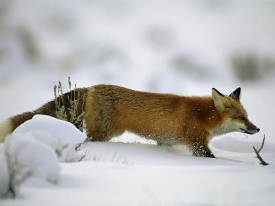 Red Fox in the Snow-Joel Sartore-Photographic Print