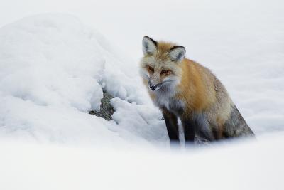 Red Fox in Winter-Ken Archer-Photographic Print
