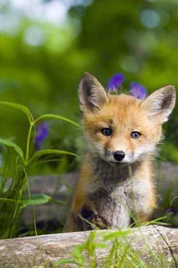 Red Fox Kit in Spring Wildflowers Minnesota Captive-Design Pics Inc-Photographic Print