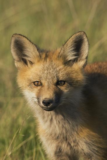 Red Fox Kit-Ken Archer-Photographic Print