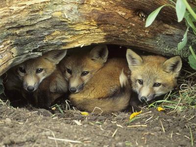 https://imgc.artprintimages.com/img/print/red-fox-kits-huddled-at-den-entrance_u-l-pzl2hw0.jpg?p=0