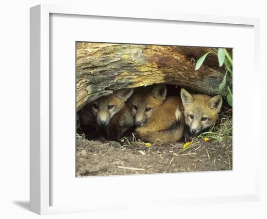 Red Fox Kits Huddled at Den Entrance-Daniel Cox-Framed Photographic Print