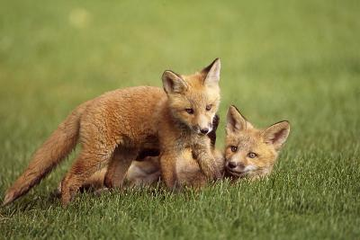 Red Fox Kits Playing Together on Golf Course on Elmendorf Airforce Base Anchorage Alaska Summer-Design Pics Inc-Photographic Print