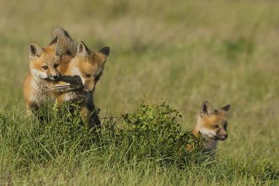 Red Fox Kits Playing with Bird Wing-Ken Archer-Photographic Print