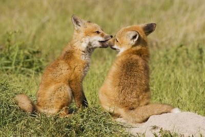 Red Fox Kits Playing-Ken Archer-Photographic Print