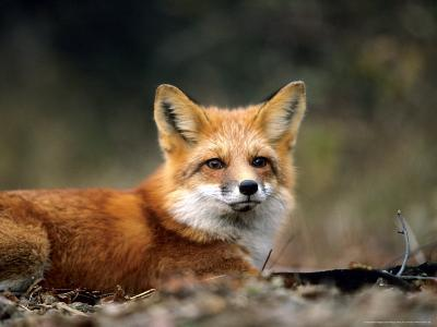 Red Fox, Lying, Quebec, Canada-Philippe Henry-Photographic Print