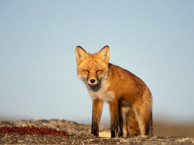 Red Fox, North Slope of Brooks Range, Alaska, USA-Steve Kazlowski-Photographic Print