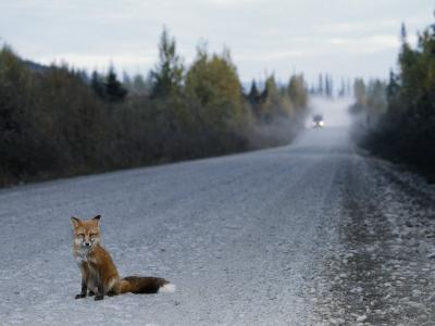 Red Fox on the Cassier Highway-Rich Reid-Photographic Print