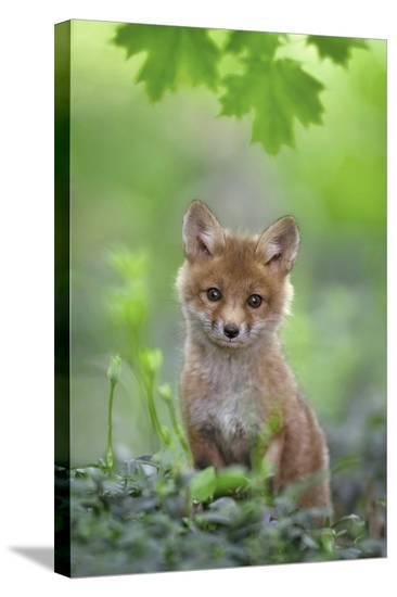 Red Fox Pup-Nick Kalathas-Stretched Canvas Print