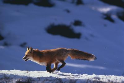 Red Fox Running in Snow-DLILLC-Photographic Print