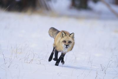 https://imgc.artprintimages.com/img/print/red-fox-running_u-l-pzrcn30.jpg?p=0