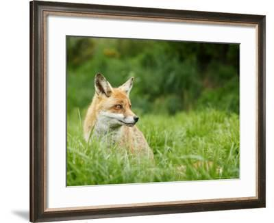 Red Fox Sitting in Long Green Grass, Sussex, UK-Elliot Neep-Framed Photographic Print