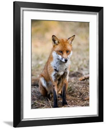 Red Fox, Sitting in Pine Needles, Lancashire, UK-Elliot Neep-Framed Photographic Print