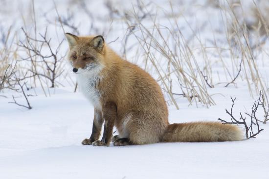 Red fox sitting in snow-Darrell Gulin-Photographic Print