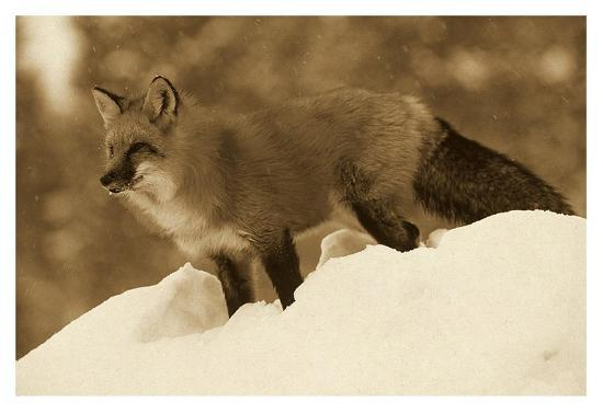 Red Fox standing at the top of a snow bank, Montana - Sepia-Tim Fitzharris-Art Print