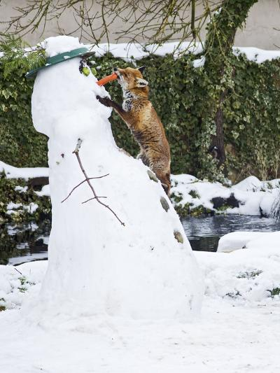 Red Fox Stealing Snowman's Nose in Winter Snow--Photographic Print