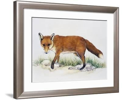 Red Fox (Vulpes Vulpes), Canidae, Drawing--Framed Giclee Print