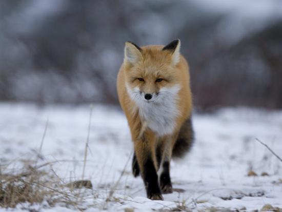 Red Fox, Vulpes Vulpes, Churchill, Manitoba, Canada, North America-Thorsten Milse-Photographic Print