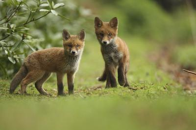 Red Fox (Vulpes Vulpes) Cubs, Hertfordshire, England, UK, May-Luke Massey-Photographic Print