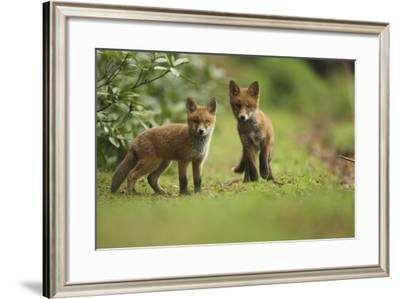 Red Fox (Vulpes Vulpes) Cubs, Hertfordshire, England, UK, May-Luke Massey-Framed Photographic Print