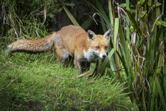 Red Fox (Vulpes Vulpes), Devon, England, United Kingdom, Europe-Janette Hill-Photographic Print