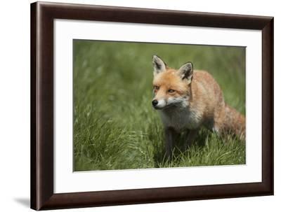 Red Fox (Vulpes Vulpes), Devon, England, United Kingdom-Janette Hill-Framed Photographic Print