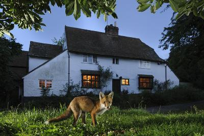 Red Fox (Vulpes Vulpes) Eating Pet Food Left Out For It In Suburban Garden At Twilight, Kent, UK-Terry Whittaker-Photographic Print
