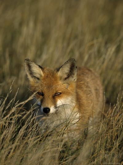 Red Fox, Vulpes Vulpes, Fischland, Mecklenburg-Vorpommern, Germany-Thorsten Milse-Photographic Print
