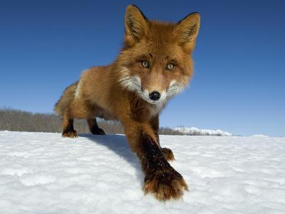 Red Fox (Vulpes Vulpes) on Snow, Kamchatka, Russia-Sergey Gorshkov/Minden Pictures-Photographic Print