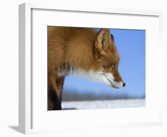 Red Fox (Vulpes Vulpes) Profile, Kamchatka, Russia-Sergey Gorshkov/Minden Pictures-Framed Photographic Print