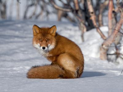 Red Fox (Vulpes Vulpes) Sitting on Snow, Kamchatka, Russia-Sergey Gorshkov/Minden Pictures-Photographic Print